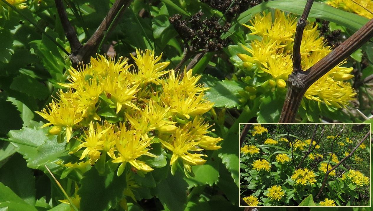 小さな花の集まりが大きな花に見える