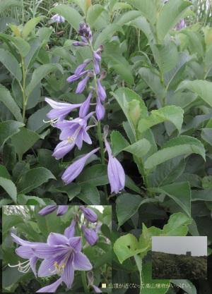 白神岳山頂近くに花