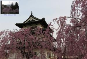 天守としだれ桜